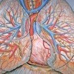 Anatomy Monday: Cardiovascular System