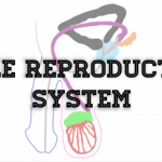 Anatomy Monday: Male Reproductive System